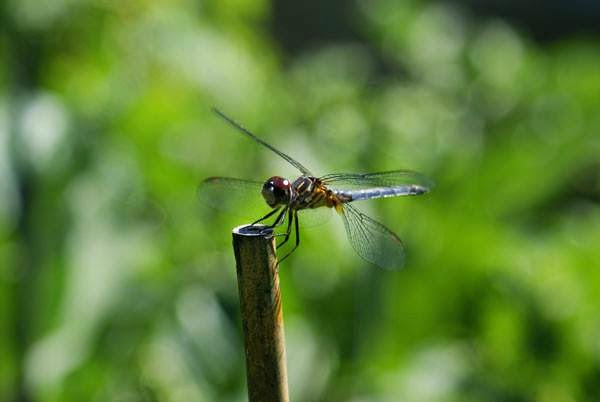 Dragonflies are my garden friends.