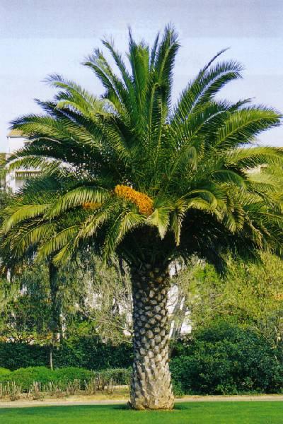 Pianta di palma da datteri - Costo palma da giardino ...
