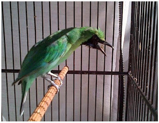 Burung Cucak Hijau - Cara Paten Memilih Bakalan Burung Cucak Hijau Bermental Juara - Penangkaran Burung Cucak Hijau