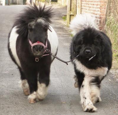 Poni blanco y negro con un pero del mismo color.