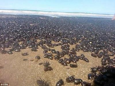 Jutaan Kumbang Hitam Menyerbu Pantai Argentina