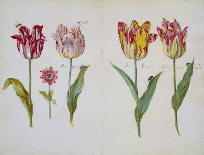 Botanical illustrations of dutch tulips