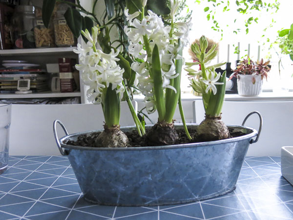 """Vit hyacint """"White Pearl"""","""