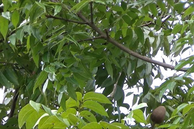Dlium Small-leaved mahogany (Swietenia mahagoni)
