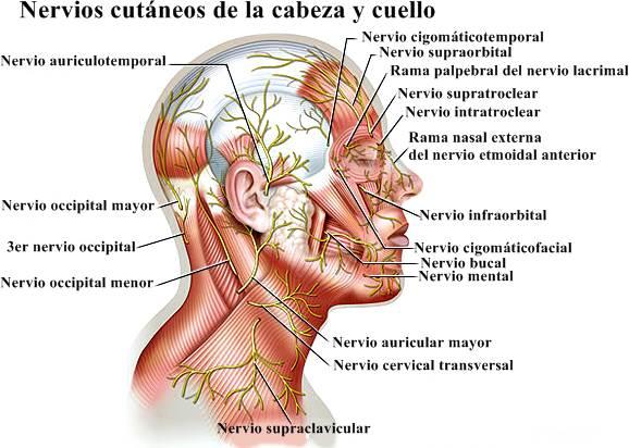 Sistema nervioso periférico y nervios espinales