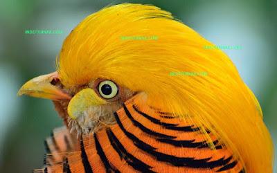 Golden Pheasant dan juga disebut burung emas merah