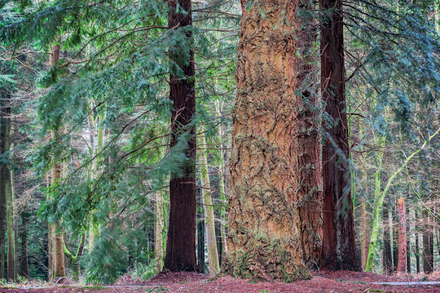 New Forest National Park trail next to giant towering trees