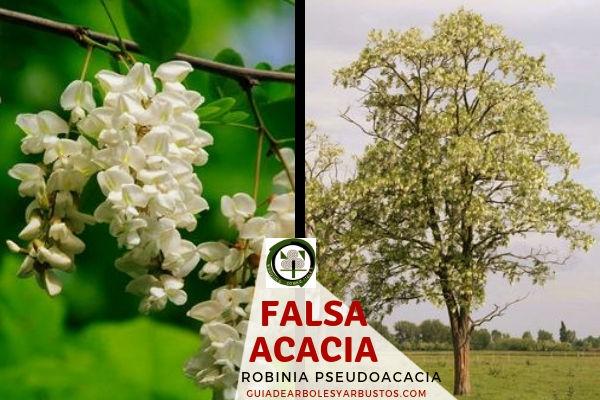 La falsa acacia, Robinia pseudoacacia, árbol que enriquece de nitrógeno los terrenos