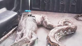 Cobra de 5 metros 'cospe' lagarto de 15 Kg ao ser resgatada