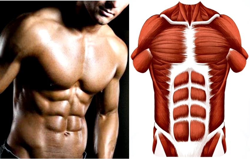 Dorable Anatomía Músculos Abdominales Foto - Anatomía de Las ...