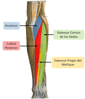 Músculo extensor cubital del carpo o cubital posterior | iinmed