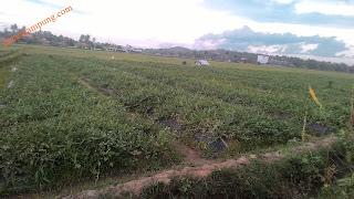 cara menanam semangka lengkap