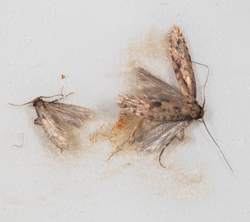 image gallery small moths