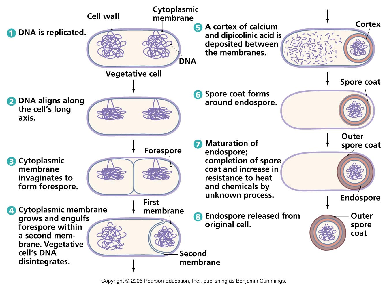 Bacterial Morphology Contd
