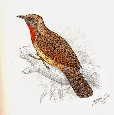 Rufous necked Wryneck