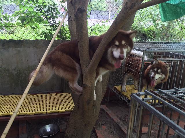 Đực phối giống chó Alaska Phi Gấu