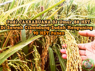 Padi CAKRABUANA 02 (CB02) umur 88 HST