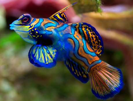 12 Mysterious But Beautiful Creatures You've Probably Never Seen - MANDARIN FISH