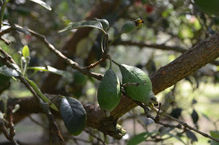 frutos feijoa acca sellowiana