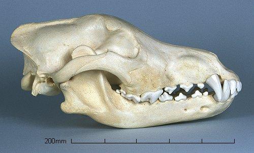 Lymfooma Koiralla