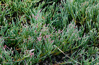 American Glasswort