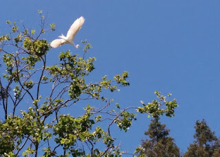 Great Egret preparing to land in a treetop, Mountain View, California
