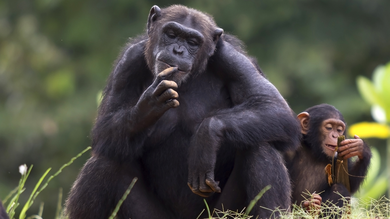 Chimpanzee The Humble Animals | Deadly Animals