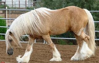 نوع خيول