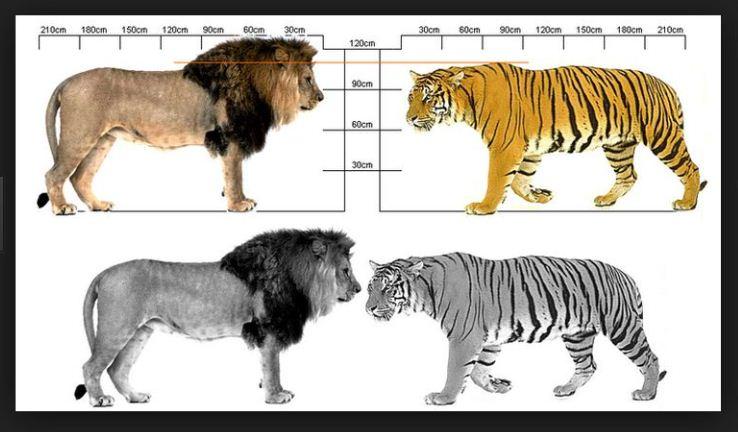 Gambar Harimau Singa Siapa Bakal Menang Uniklopedia