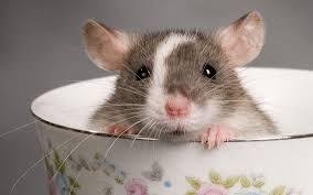 الفأر المائي في الأبراج الصينية