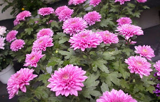 gambar bunga krisan