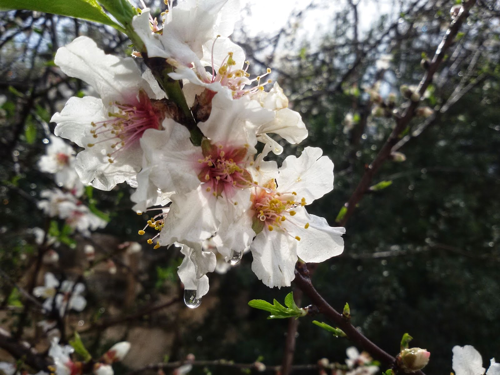 A Letter From Israel When The Almond Trees Flower