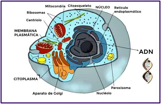 Célula humana con sus partes