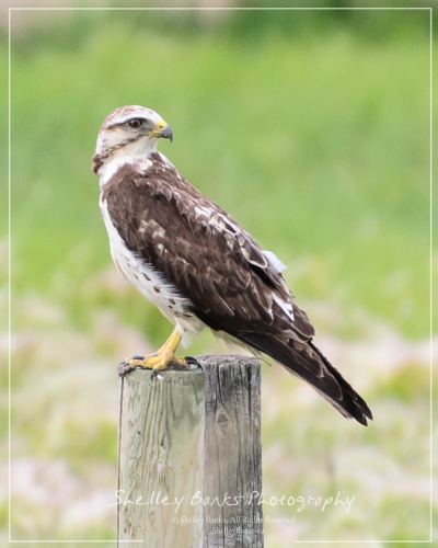 Swainson's Hawk. Copyright © Shelley Banks. All Rights Reserved.