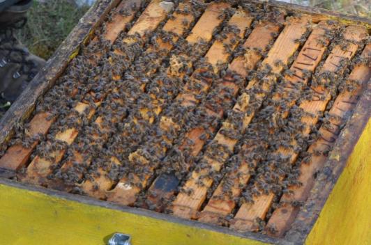 Πωλούνται μελισσοσμήνη στην Καβύλη Έβρου