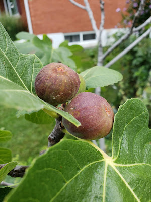 August 25, 2018 Our figs will use be ready to eat.