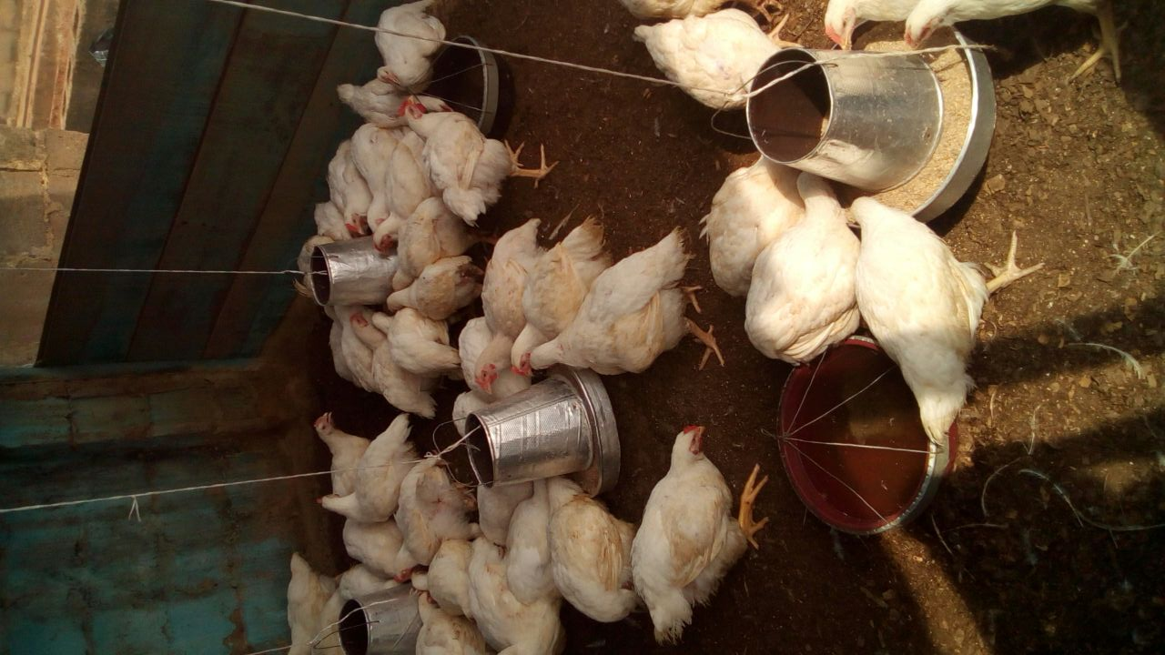 Coccidiosis In Poultry: Causes, Symptoms, And Treatment