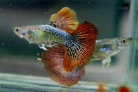 Jual Guppy Dragon BE,  Harga Guppy Dragon BE,  Toko Guppy Dragon BE,  Diskon Guppy Dragon BE,  Beli Guppy Dragon BE,  Review Guppy Dragon BE,  Promo Guppy Dragon BE,  Spesifikasi Guppy Dragon BE,  Guppy Dragon BE Murah,  Guppy Dragon BE Asli,  Guppy Dragon BE Original,  Guppy Dragon BE Jakarta,  Jenis Guppy Dragon BE,  Budidaya Guppy Dragon BE,  Peternak Guppy Dragon BE,  Cara Merawat Guppy Dragon BE,  Tips Merawat Guppy Dragon BE,  Bagaimana cara merawat Guppy Dragon BE,  Bagaimana mengobati Guppy Dragon BE,  Ciri-Ciri Hamil Guppy Dragon BE,  Kandang Guppy Dragon BE,  Ternak Guppy Dragon BE,  Makanan Guppy Dragon BE,  guppy breeding Guppy Dragon BE,  guppies for sale Guppy Dragon BE,  guppy care Guppy Dragon BE,  breeding guppies Guppy Dragon BE,  male guppies Guppy Dragon BE,  female guppies Guppy Dragon BE,  guppy aquarium Guppy Dragon BE,  baby guppies Guppy Dragon BE,  poecilia reticulata Guppy Dragon BE,  guppy tank Guppy Dragon BE,  guppy fry Guppy Dragon BE,  guppy giving birth Guppy Dragon BE,  how long do guppies live Guppy Dragon BE,  guppys Guppy Dragon BE,  guppy guppy Guppy Dragon BE,  guppy food Guppy Dragon BE,  guppy breeding tank Guppy Dragon BE,  fantail guppy Guppy Dragon BE,  guppy breeds Guppy Dragon BE,  guppy s Guppy Dragon BE,  wild guppies Guppy Dragon BE,  guppy babies Guppy Dragon BE,  guppy varieties Guppy Dragon BE,  freshwater guppies Guppy Dragon BE,  guppy female Guppy Dragon BE,  tropical guppies Guppy Dragon BE,  female guppies for sale Guppy Dragon BE,  guppy price Guppy Dragon BE,  raising guppies Guppy Dragon BE,  guppies for sale online Guppy Dragon BE,  guppy info Guppy Dragon BE,  buy guppies online Guppy Dragon BE,  guppy sale Guppy Dragon BE,  buy guppies Guppy Dragon BE,  guppy diseases Guppy Dragon BE,  guppies online Guppy Dragon BE,  caring for guppies Guppy Dragon BE,  best food for guppies Guppy Dragon BE,  food for guppies Guppy Dragon BE,  blue guppy Guppy Dragon BE,  guppy breeding setup Guppy Dragon BE,  guppy birth Guppy Dragon BE,  guppy species Guppy Dragon BE,  gestation period for guppies Guppy Dragon BE,  guppys online Guppy Dragon BE,  guppy care sheet Guppy Dragon BE,  guppy blue Guppy Dragon BE,  keeping guppies Guppy Dragon BE,  guppies for sale cheap Guppy Dragon BE,  the guppy Guppy Dragon BE,  guppy breeding cycle Guppy Dragon BE,  show guppies Guppy Dragon BE,  thai guppy Guppy Dragon BE,  male and female guppies Guppy Dragon BE,  what to feed baby guppies Guppy Dragon BE,  yellow guppy Guppy Dragon BE,  guppy names Guppy Dragon BE,  guppy gestation period Guppy Dragon BE,  feeding guppies Guppy Dragon BE,  guppy genetics Guppy Dragon BE,  guppy show Guppy Dragon BE,  turquoise guppy Guppy Dragon BE,  guppy fry care Guppy Dragon BE,  guppy games Guppy Dragon BE,  guppy gestation Guppy Dragon BE,  guppy colors Guppy Dragon BE,  guppy tank setup Guppy Dragon BE,  trinidadian guppies Guppy Dragon BE,  guppies having babies Guppy Dragon BE,  guppy strains Guppy Dragon BE,  what do guppies eat Guppy Dragon BE,  what to feed guppies Guppy Dragon BE,  guppy life span Guppy Dragon BE,  how to care for guppies Guppy Dragon BE,  guppy male and female Guppy Dragon BE,  what is a guppy Guppy Dragon BE,  guppy natural habitat Guppy Dragon BE,  german guppy Guppy Dragon BE,  guppy poecilia reticulata Guppy Dragon BE,  guppy images Guppy Dragon BE,  images of guppies Guppy Dragon BE,  fishguppy Guppy Dragon BE,  guppy facts Guppy Dragon BE,  how many babies do guppies have Guppy Dragon BE,  how big do guppies get Guppy Dragon BE,  how to take care of guppies Guppy Dragon BE,  fan tailed guppies Guppy Dragon BE,  guppy pregnant Guppy Dragon BE,  guppy life cycle Guppy Dragon BE,  temperature for guppies Guppy Dragon BE,  what are guppies Guppy Dragon BE,  guppies restaurant Guppy Dragon BE,  guppy definition Guppy Dragon BE,  guppy meaning Guppy Dragon BE,  guppy size Guppy Dragon BE,  define guppy Guppy Dragon BE,  guppy wiki Guppy Dragon BE,  how do guppies give birth Guppy Dragon BE,  baby guppys Guppy Dragon BE,  guppies bar Guppy Dragon BE,  how many fry do guppies have Guppy Dragon BE,  guppy behavior Guppy Dragon BE,  how many babies does a guppy have Guppy Dragon BE,  where do guppies come from Guppy Dragon BE,  how do guppies reproduce Guppy Dragon BE,  what does guppy mean Guppy Dragon BE,  what is guppy Guppy Dragon BE,  types of guppy Guppy Dragon BE,  guppy guppies Guppy Dragon BE,  guppy house hours Guppy Dragon BE,  guppys on the go Guppy Dragon BE,  guppys restaurant Guppy Dragon BE,  guppies definition Guppy Dragon BE,  do guppies eat their babies Guppy Dragon BE,  gestation guppy Guppy Dragon BE,  bubble guppies Guppy Dragon BE,  guppy Guppy Dragon BE,  Guppy Dragon BE Jakarta,  Guppy Dragon BE Bandung,  Guppy Dragon BE Medan,  Guppy Dragon BE Bali,  Guppy Dragon BE Makassar,  Guppy Dragon BE Jambi,  Guppy Dragon BE Pekanbaru,  Guppy Dragon BE Palembang,  Guppy Dragon BE Sumatera,  Guppy Dragon BE Langsa,  Guppy Dragon BE Lhokseumawe,  Guppy Dragon BE Meulaboh,  Guppy Dragon BE Sabang,  Guppy Dragon BE Subulussalam,  Guppy Dragon BE Denpasar,  Guppy Dragon BE Pangkalpinang,  Guppy Dragon BE Cilegon,  Guppy Dragon BE Serang,  Guppy Dragon BE Tangerang Selatan,  Guppy Dragon BE Tangerang,  Guppy Dragon BE Bengkulu,  Guppy Dragon BE Gorontalo,  Guppy Dragon BE Kota Administrasi Jakarta Barat,  Guppy Dragon BE Kota Administrasi Jakarta Pusat,  Guppy Dragon BE Kota Administrasi Jakarta Selatan,  Guppy Dragon BE Kota Administrasi Jakarta Timur,  Guppy Dragon BE Kota Administrasi Jakarta Utara,  Guppy Dragon BE Sungai Penuh,  Guppy Dragon BE Jambi,  Guppy Dragon BE Bandung,  Guppy Dragon BE Bekasi,  Guppy Dragon BE Bogor,  Guppy Dragon BE Cimahi,  Guppy Dragon BE Cirebon,  Guppy Dragon BE Depok,  Guppy Dragon BE Sukabumi,  Guppy Dragon BE Tasikmalaya,  Guppy Dragon BE Banjar,  Guppy Dragon BE Magelang,  Guppy Dragon BE Pekalongan,  Guppy Dragon BE Purwokerto,  Guppy Dragon BE Salatiga,  Guppy Dragon BE Semarang,  Guppy Dragon BE Surakarta,  Guppy Dragon BE Tegal,  Guppy Dragon BE Batu,  Guppy Dragon BE Blitar,  Guppy Dragon BE Kediri,  Guppy Dragon BE Madiun,  Guppy Dragon BE Malang,  Guppy Dragon BE Mojokerto,  Guppy Dragon BE Pasuruan,  Guppy Dragon BE Probolinggo,  Guppy Dragon BE Surabaya,  Guppy Dragon BE Pontianak,  Guppy Dragon BE Singkawang,  Guppy Dragon BE Banjarbaru,  Guppy Dragon BE Banjarmasin,  Guppy Dragon BE Palangkaraya,  Guppy Dragon BE Balikpapan,  Guppy Dragon BE Bontang,  Guppy Dragon BE Samarinda,  Guppy Dragon BE Tarakan,  Guppy Dragon BE Batam,  Guppy Dragon BE Tanjungpinang,  Guppy Dragon BE Bandar Lampung,  Guppy Dragon BE Kotabumi,  Guppy Dragon BE Liwa,  Guppy Dragon BE Metro,  Guppy Dragon BE Ternate,  Guppy Dragon BE Tidore Kepulauan,  Guppy Dragon BE Ambon,  Guppy Dragon BE Tual,  Guppy Dragon BE Bima,  Guppy Dragon BE Mataram,  Guppy Dragon BE Kupang,  Guppy Dragon BE Sorong,  Guppy Dragon BE Jayapura,  Guppy Dragon BE Dumai,  Guppy Dragon BE Pekanbaru,  Guppy Dragon BE Makassar,  Guppy Dragon BE Palopo,  Guppy Dragon BE Parepare,  Guppy Dragon BE Palu,  Guppy Dragon BE Bau-Bau,  Guppy Dragon BE Kendari,  Guppy Dragon BE Bitung,  Guppy Dragon BE Kotamobagu,  Guppy Dragon BE Manado,  Guppy Dragon BE Tomohon,  Guppy Dragon BE Bukittinggi,  Guppy Dragon BE Padang,  Guppy Dragon BE Padangpanjang,  Guppy Dragon BE Pariaman,  Guppy Dragon BE Payakumbuh,  Guppy Dragon BE Sawahlunto,  Guppy Dragon BE Solok,  Guppy Dragon BE Lubuklinggau,  Guppy Dragon BE Pagaralam,  Guppy Dragon BE Palembang,  Guppy Dragon BE Prabumulih,  Guppy Dragon BE Binjai,  Guppy Dragon BE Medan,  Guppy Dragon BE Padang Sidempuan,  Guppy Dragon BE Pematangsiantar,  Guppy Dragon BE Sibolga,  Guppy Dragon BE Tanjungbalai,  Guppy Dragon BE Tebingtinggi,  Guppy Dragon BE Yogyakarta,