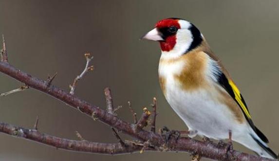 حقائق Facts: عن طائر الحسون ( سطيلة )