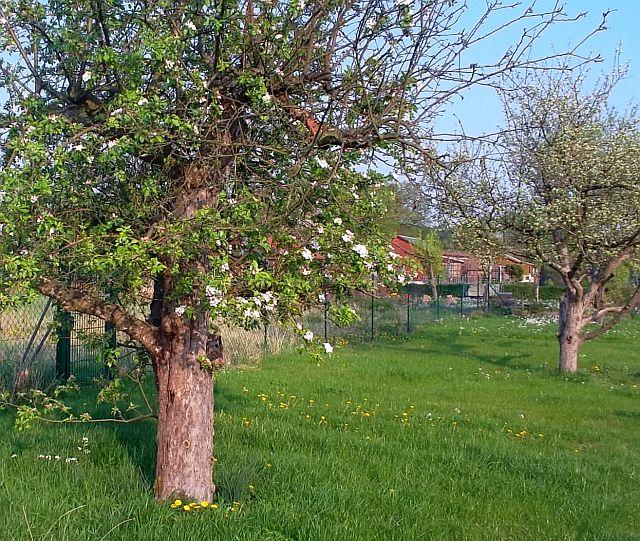 Apfelblüten dekorativ und delikat