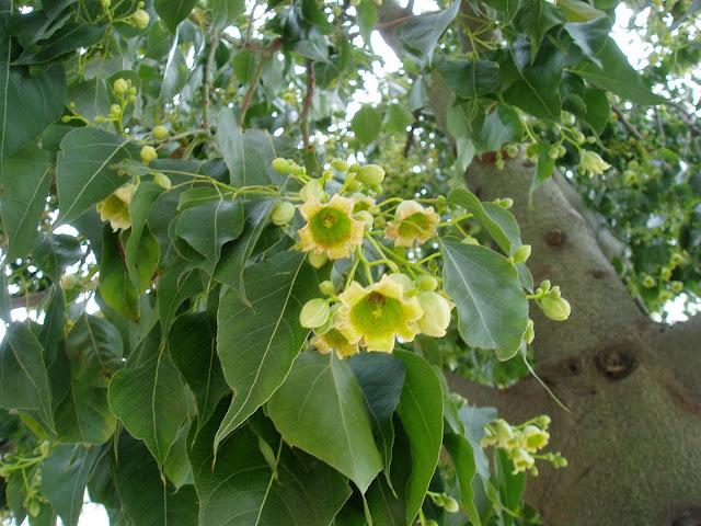 Flores de BRAQUIQUITO: Brachychiton populneus