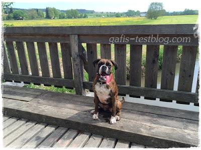 Boxer Amy auf der Brücke