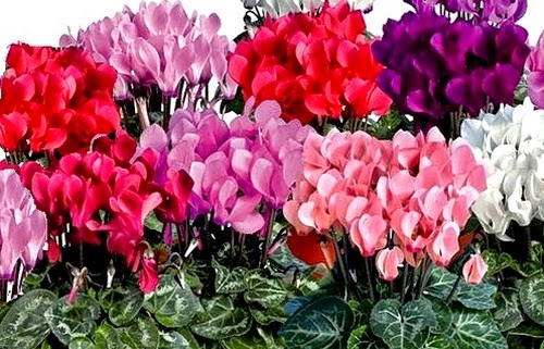 Indoor air purifier Cyclamen (Cyclamen persicum)