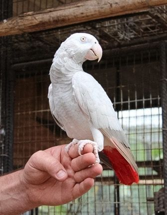 African grey parrot | A-Z List of 125 Rare Albino Animals [Pics]