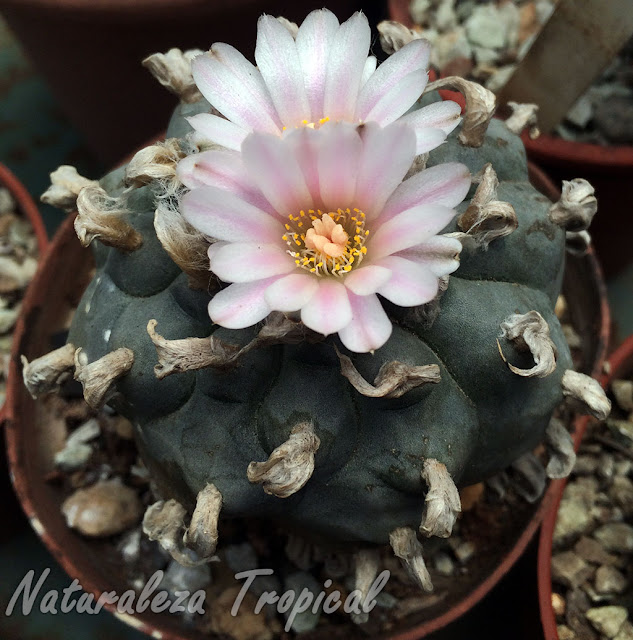 Cactus Peyote en flor, Lophophora williamsii