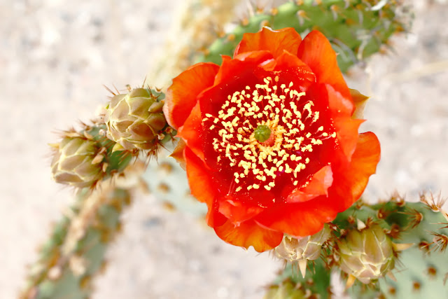 A photo of a hybrid opuntia blossom. Round and about 2-inches in diameter. Bright, vivid, and deep reddish orange.