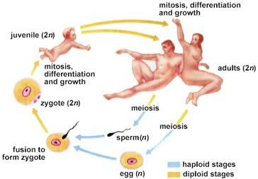 Sexual Reprodution 6