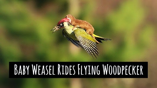 watch baby weasel rides a flying woodpecker in east London's Hornchurch Country Park via geniushowto.blogspot.com rare wildlife encounter photos and videos