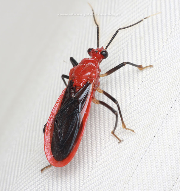Red black Shield bug