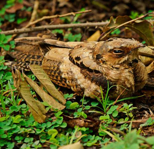 Photo of Indian nightjar - Caprimulgus asiaticus